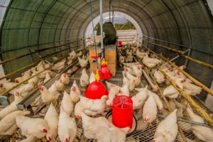 Things that must be Attention in Chicken Business