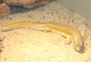 About Berber Skinks