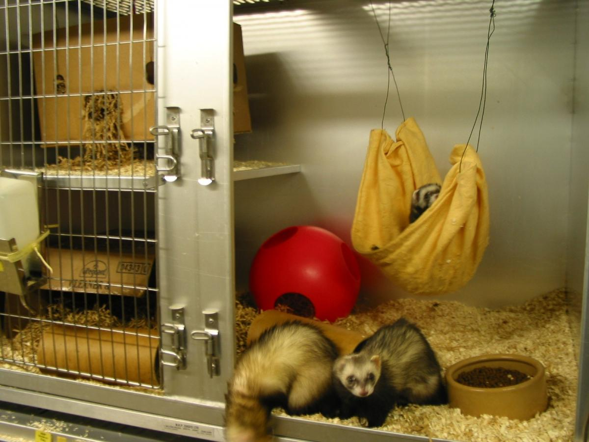 Places Where You Can Buy a Ferret - Pet Shops