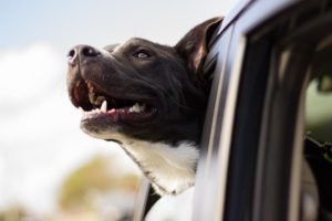 Know the Useful Tips on How to Make Your Dog Car Friendly