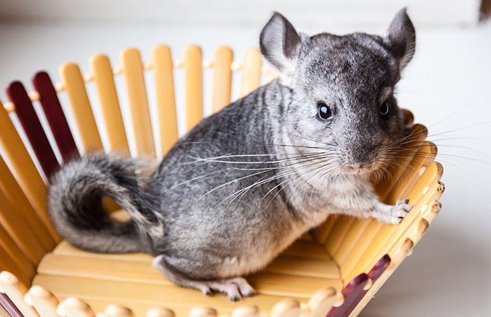 Who Is That Charming Little Creature In My Chinchilla Cage?