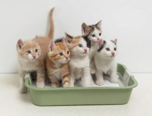Cat Toilet Coaching Using Just Your Litter Box