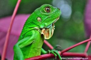 General Iguana Information