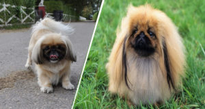 What Should You Know About Caring for Your Little Pekingese Puppy?