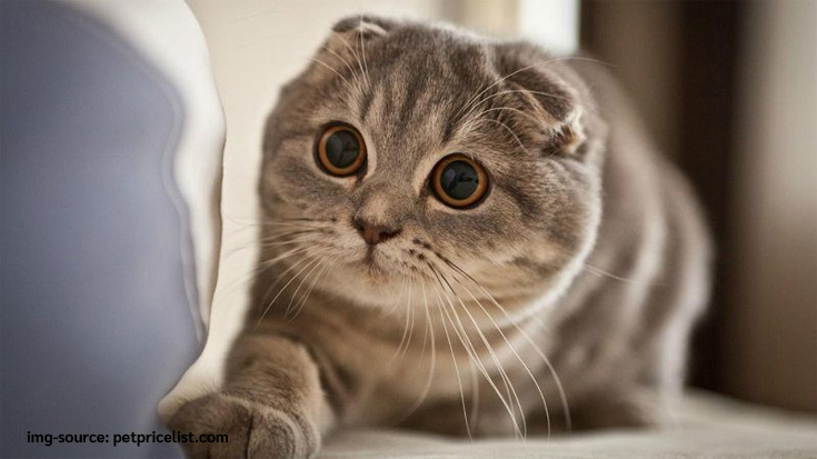So Adorable Cute Cats With a Flat Expression Of These Five Breeds Make Your Heart Melt Right Away
